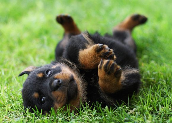 On Land Dogs Baby rottweiler, Rottweiler puppies, Baby dogs