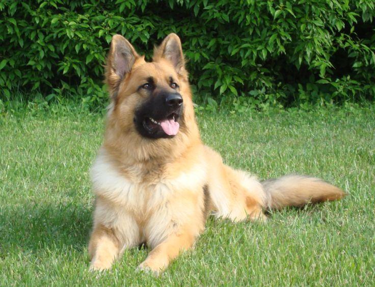 King Shepherd | ... De Chief's Beriszl (Bear) of Great Lakes King Shepherd, CGC, Penn Hip