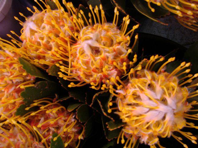 Leucospermum 'Pincushion- high gold'