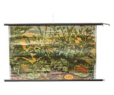 Tavola didattica biologia anni '50 in tela cerata e legno, 98x78 cm