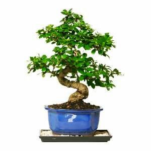 The Fukien Tea Bonsai Trees from Nursery Tree Wholesalers are imported directly…