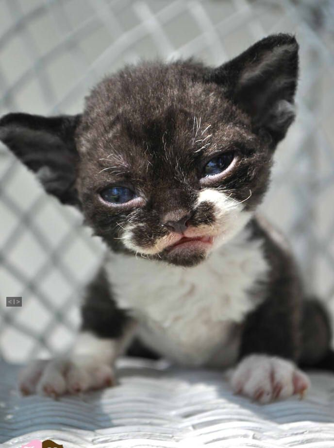 "( Devon Rex ) * * KITTEN WISDOM: "" Wif bein' strong, no one asks ya if yer doin' okey."""
