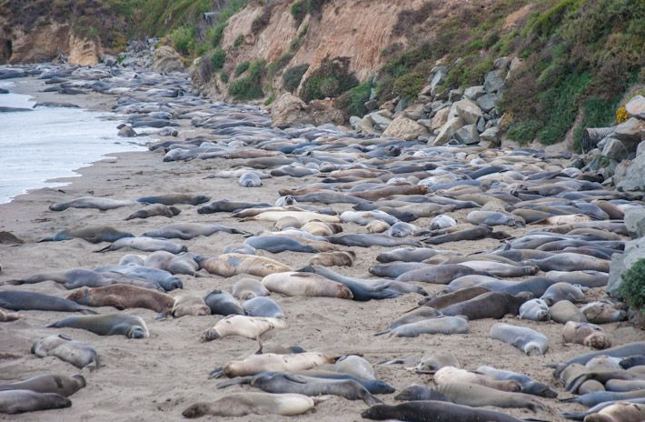 Crazy amount of seals in Big Sur, #California!