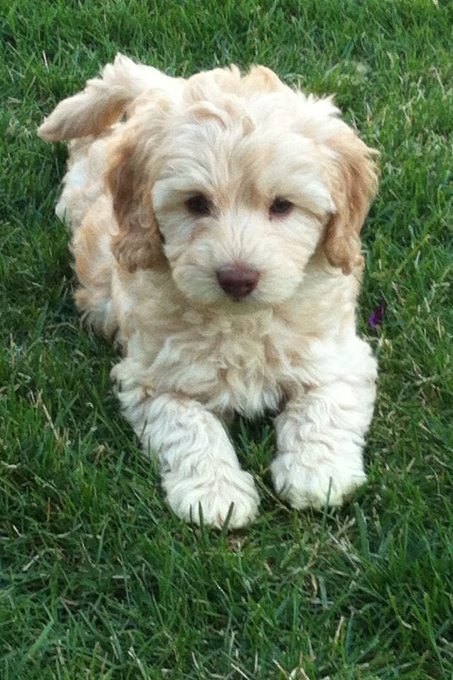 Australian Labradoodle puppy Puppy Patch Labradoodles - Tap the pin for the most adorable pawtastic fur baby apparel! You'll love the dog clothes and cat clothes! <3