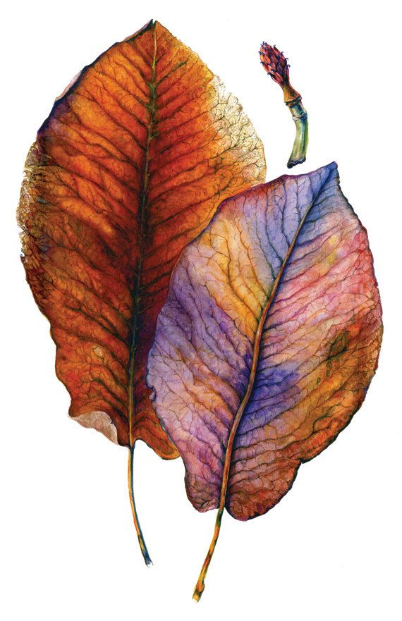 1, Autumn Leaves,  Magnolia dealbata, Gallery Style card-Suitable for sending and framing