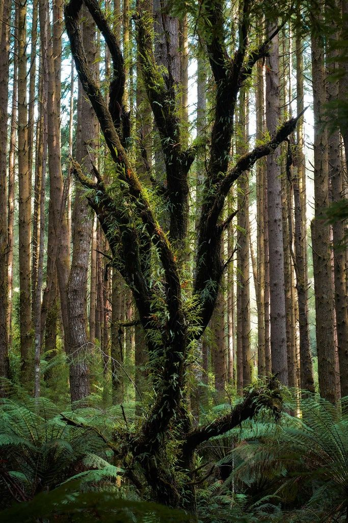 Californian redwood forest in the Otways #nature #travel #rainforest #photography