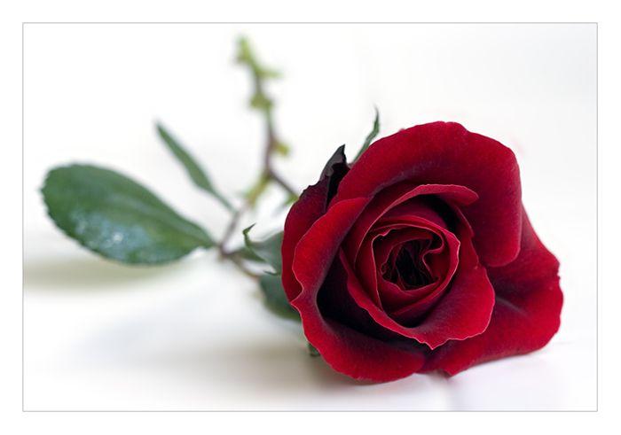 rose by Ruth-Yang