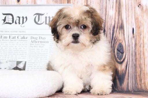 Zuchon puppy for sale in BEL AIR, MD. ADN-68592 on PuppyFinder.com Gender: Female. Age: 10 Weeks Old