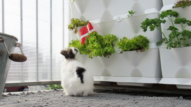 Fødselsdag og fri salatbar på altanen   #balcony #balconygarden #bunny #rabbit #pets #cutepets #urbangarden #birthday #altan #minigarden #myminigarden #plantevæg #verticalgarden #verticalgardens