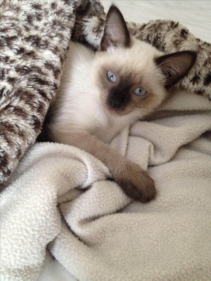 Is it time to wake up? My Siamese kitten