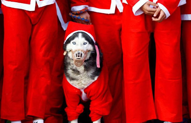 A dog dressed as Santa Claus takes part in the annual city race in Skopje, Macedonia, on December 24... - Ognen Teofilovski / Reuters