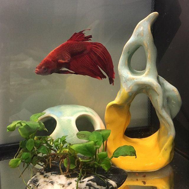 saultk added a photo of their WhiteCitrus Ceramics purchase ! whitecitrus.etsy.com #bettafish #aquariums #bettatank