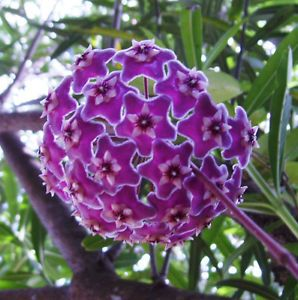 Where to Buy Hoya Plants | Details about Spotted Hoya Wax Plant vines fabulous purple clusters of ...