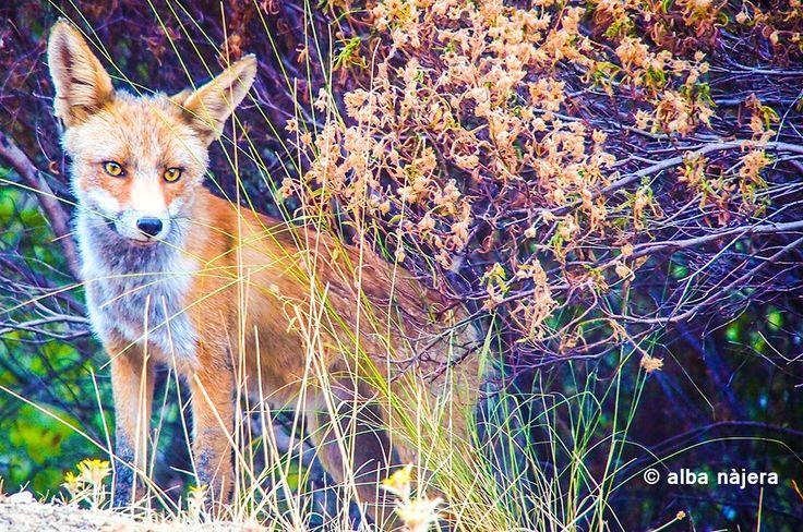 fox by Alba Najera on 500px