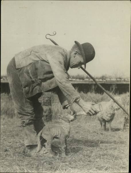 Vintage photo...Looking after his  sheep...love his Sheep Hook.