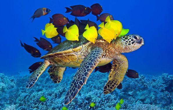Обои картинки фото черепаха, океан, стая, жёлтые, рыбки