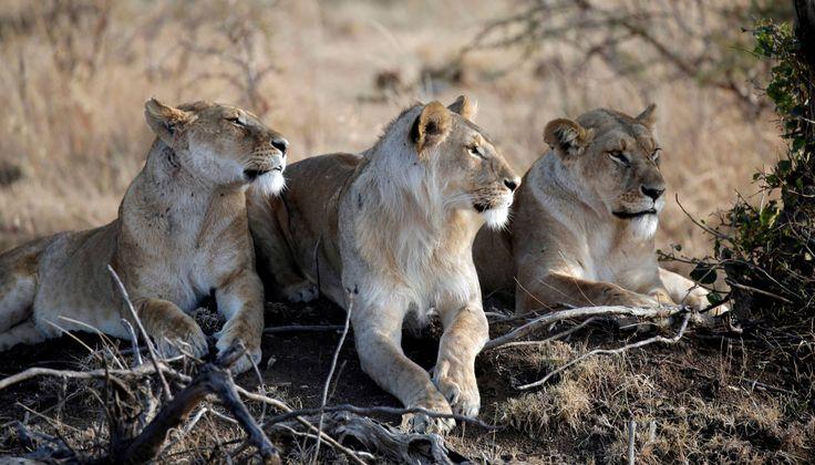 Un grupo de leones descansa en el Masai Mara (Kenia).