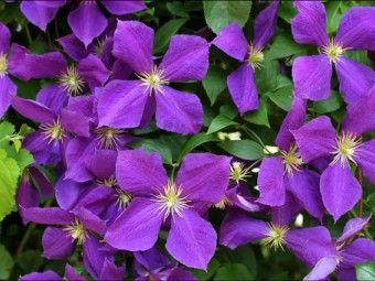 Clematis 'Viola', Bosrank of bosdruif.  Clematis 'Viola' bloeit met donkerpaarse tot paarse bloemen met een opvallend licht gekleurd hart. Clematis 'Viola' bloeit vanaf juli tot in september en wordt ongeveer 250 tot 300 cm hoog.