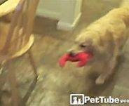 Golden Retriever Puppy Cam