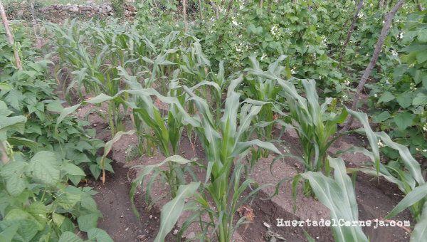 Plantas de maíz morado entre dos variedades de judías