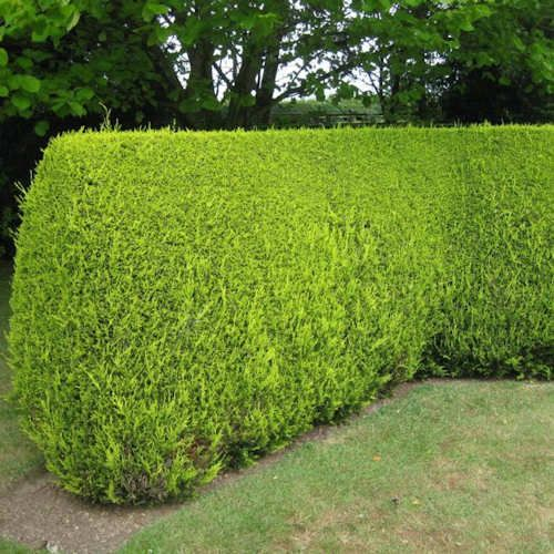 28 best leylandii images on pinterest landscaping ideas natural privacy fences and leylandii. Black Bedroom Furniture Sets. Home Design Ideas