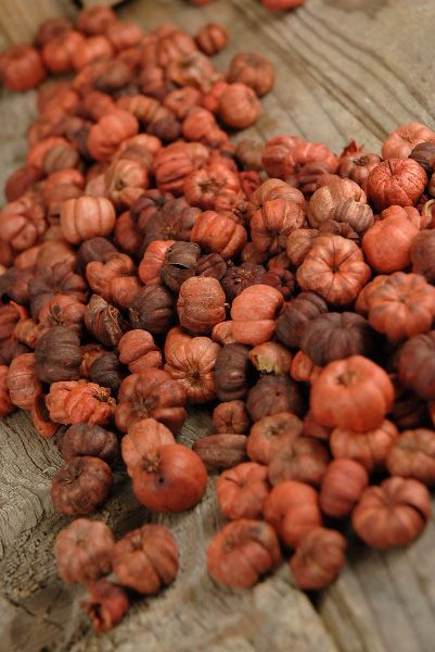 Dried Puka Pods. This stuff looks like mini pumpkins and is perfect for vase or apothecary jar filler.  I love fall!!!