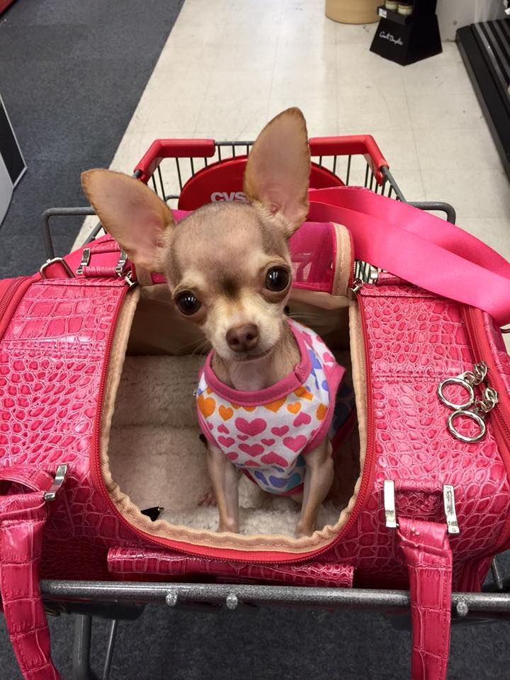 What a cutie pie! Chihuahua