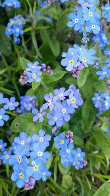 Förgätmigej, perenn blomma