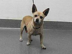 MEET 18-11006 Chihuahua | Adult | Male | Small I'm in a high kill Animal Shelter in Los Angeles County, California.