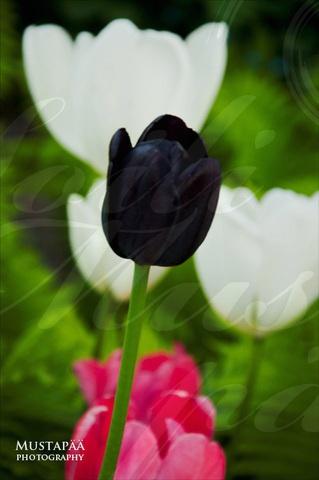 La Tulipe Noire.