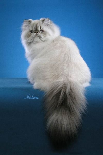 How did persian cats get their name