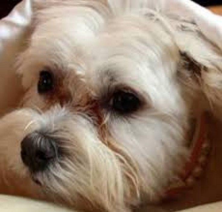 Cómo retirar las manchas provocadas por las lágrimas en la mascota