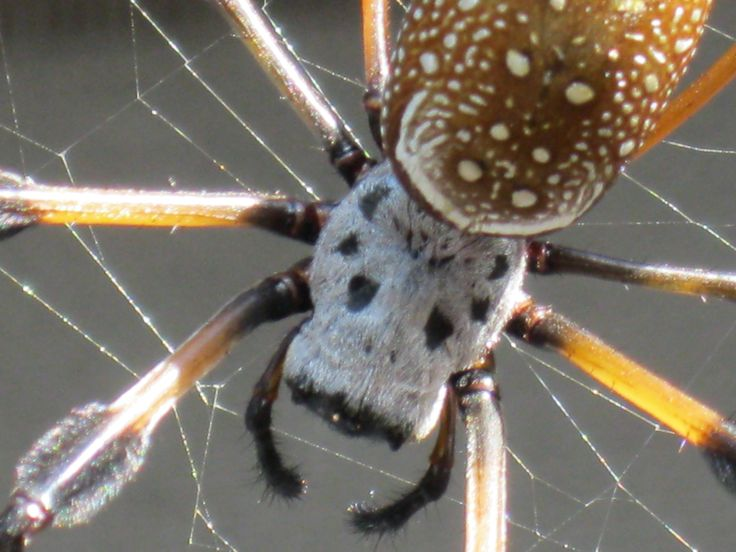 Real happy with this close up.  Golden Silk Orb-Weaver (Banana Spider) Nephila clavipes