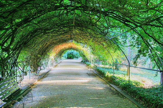 Green tunnel, Adelaide Botanic Garden, South Australia. This is wisteria. When blooming (purple) it is a sight to be seen! Awesome.