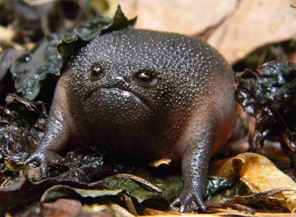Grumpy frog? (black rain frog) 機嫌悪い?怒ってる?実際には全然怒っていないわけだが、おこな表情に見えてしまうところが逆にかわいらしかったりするブラックレイン・フロッグ(Breviceps fuscus)は南アフリカに生息する両生類である。