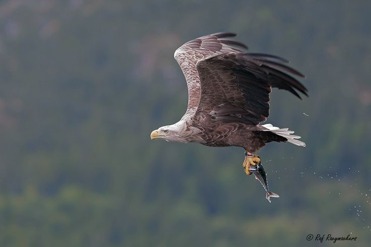 white-tailed eagle by Raf Raeymaekers on 500px