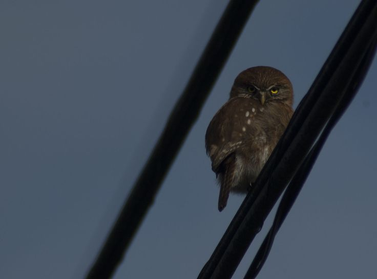 Chuncho / Austral Pygmy-Owl (Glaudicium nanum)  The smallest owl in region, is diurnal and crepuscular in its habits. This one was very curious about us.