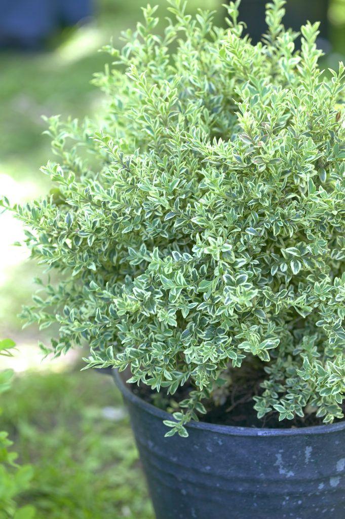 Gewöhnlicher Buchsbaum 'Argenteovariegata' • Buxus sempervirens 'Argenteovariegata' • Buchsbaum 'Argenteovariegata' • Buchs 'Argenteovariegata' • Pflanzen & Blumen • 99Roots.com