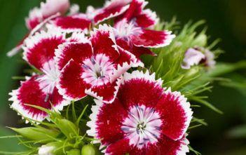 Dianthus barbatus – Sweet William