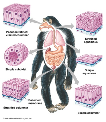 anatomy and physiology tissues essay The term tissue is used to describe a group of cells found together in the body  the cells within a tissue share a common embryonic origin microscopic.