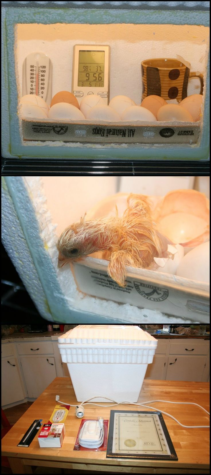 Want to hatch your own chicken eggs? Then you need your own egg incubator!  http://diyprojects.ideas2live4.com/2016/05/02/build-an-inexpensive-egg-incubator/  If you have the money for it, then you can buy the branded ones which will cost around $200. But if budget is an issue, then fret not, here's a budget-friendly DIY egg incubator.  Now there are lots of DIY styrofoam egg incubator tutorials out there, but the tutorial linked on our site is simple and easy to follow than most…