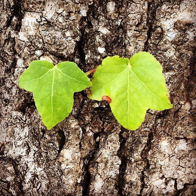 Side by side #leaves #nature #coloursofnature #naturelovers #natureshot #nature_brilliance  #nothingisordinary #canberra  #garden #gardenlove #ilovemygarden #gardening #gardenlife #mygarden #garden_styles #thegardenguy