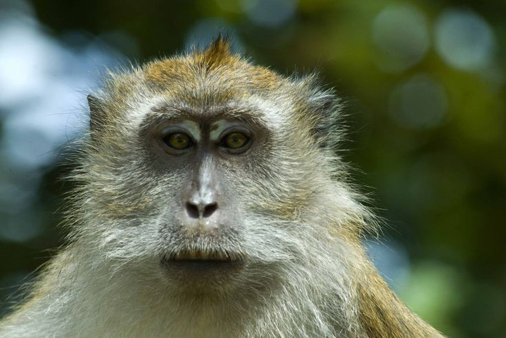 Long-tailed macaque, Langkawi, Malaysia. Image by Mark Eveleigh