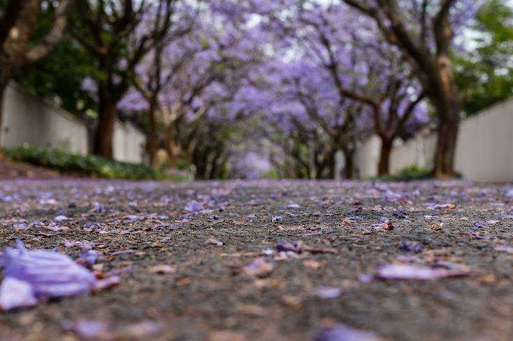 """""""Purple Rain"""" has been published on Pascal Parent Photos  More information at http://wp.me/p4WBG2-no The jacarandas in Johannesburg are a sight to see, the northern suburbs of the city turn purple with these majestic trees. This, from end of October the the firs few weeks of November, is the season. We call it purple rain season and you can see why. Interesting fact: The Jacaranda is not native to South Africa or Africa for that matter, even if our capital city Pretoria is"""