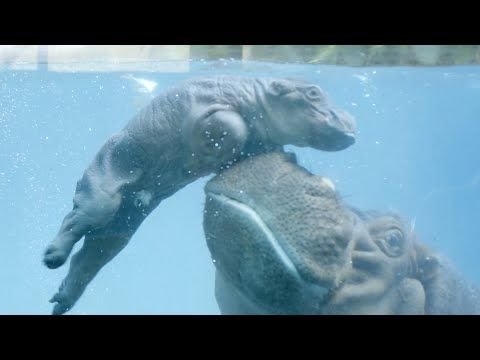 Aww! Adorable day-old hippo learns to swim with a little help from mom | fox8.com