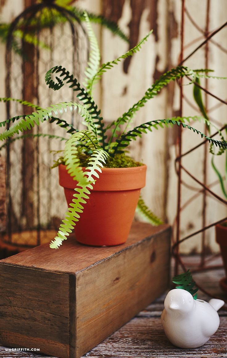 Potted Paper Fern Plants