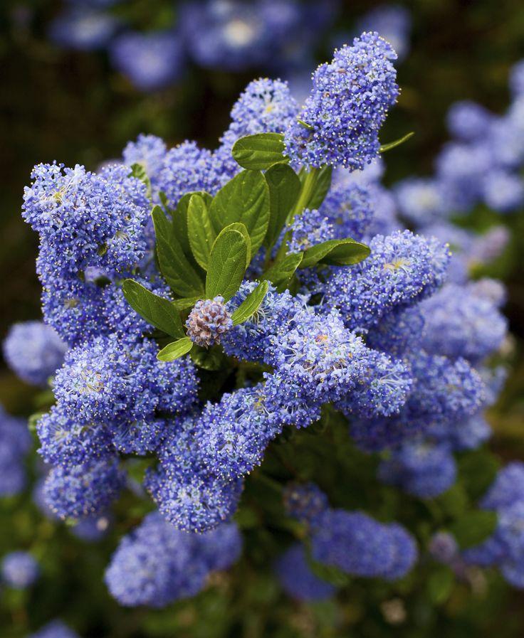 How to care for california lilac shrubs