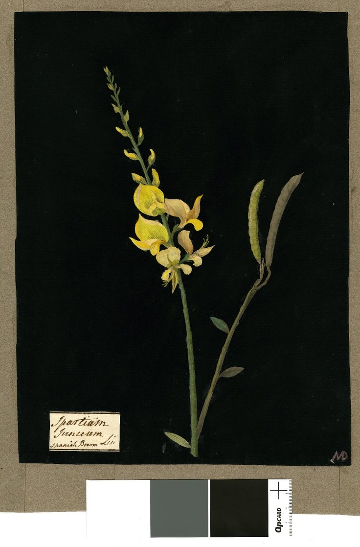 Mary Delany botanical collage: Spartium Junceum, 1779