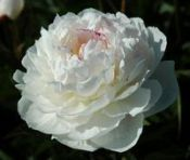 Peonies AVALANCHE, Peony Farm, WA, peonies for sale, order online