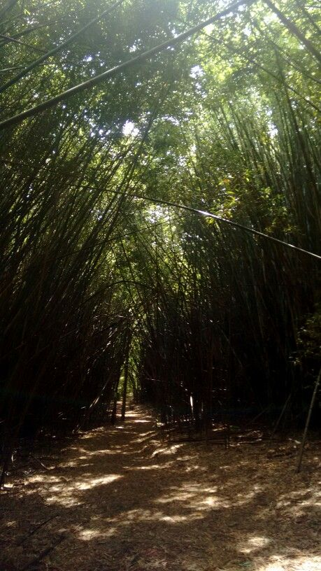 Bambuzal. Jardim Botânico - Londrina, PR.
